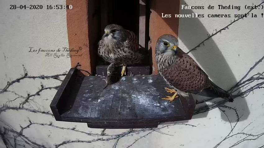 Isis and Horus, are the names of our new couple of kestrels