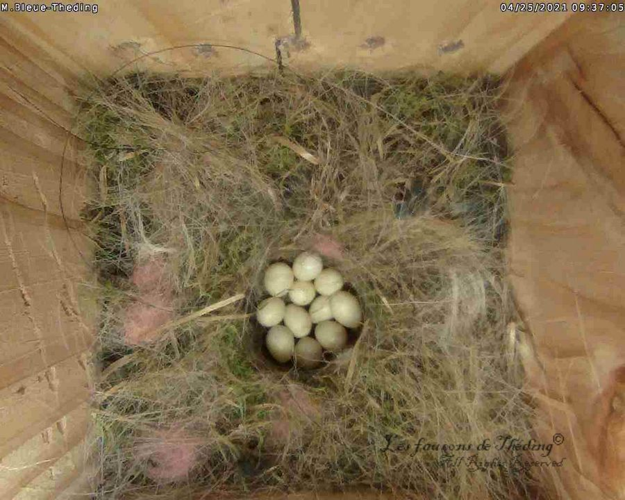 11 œufs