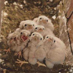faucon-crecerelle-2002_005