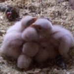 6 fauconneaux !
