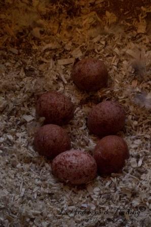Les 6 œufs des faucons