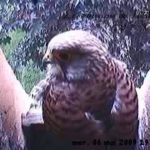 The female at nest