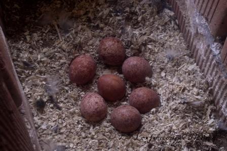Un 7ème œuf !