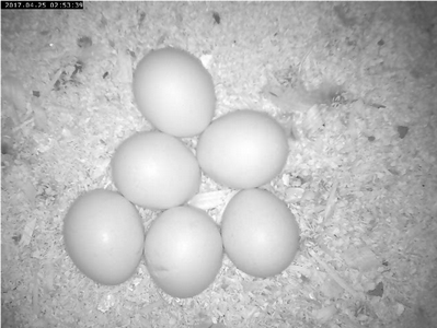 Eggs in night vision