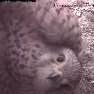femelle faucon crécerelle