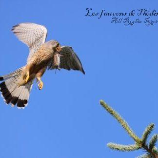 faucon crécerelle proie