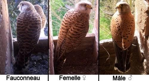 mâle femelle fauconneau faucon crécerelle comparaison