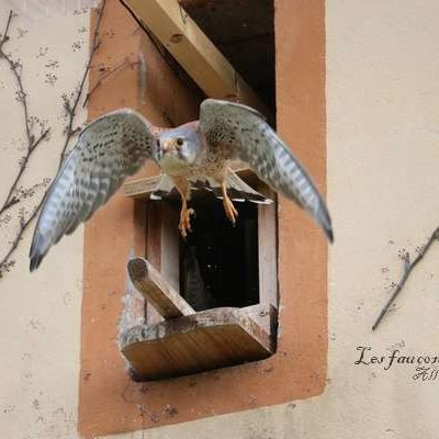 faucon-crecerelle-male-nid-2018-05-12