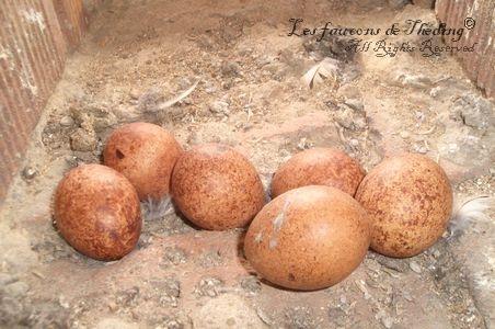 œuf nid pierre faucon crécerelle