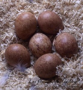 Kestrel Falcon Egg