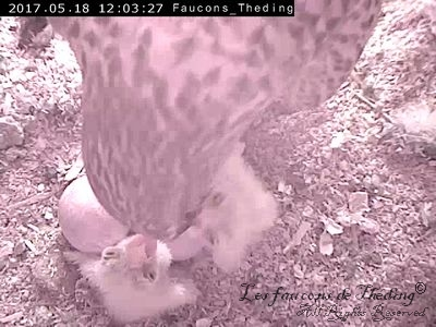 Falcon Kestrel Breeding Nest nestled