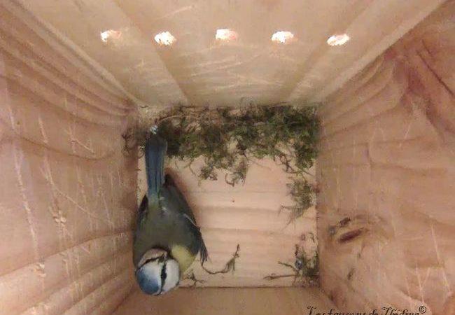 mesange-bleue-debut-nid-theding-2019-03-06