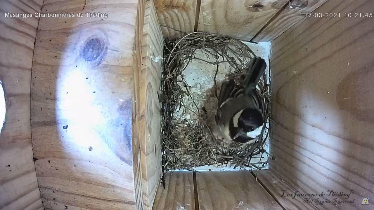 Début de la construction du nid