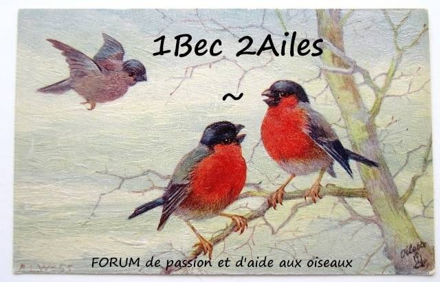 1 bec 2 ailes