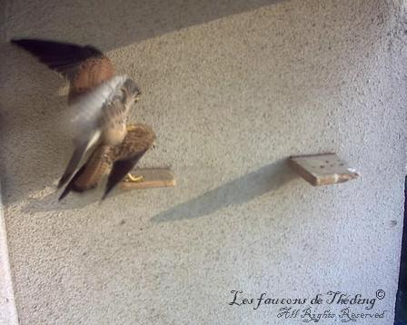 faucon crécerelle